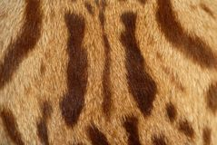 Close up of cats fur. Close up of the fur of a wild cat Royalty Free Stock Photo