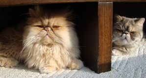 Close-up of cats. Persian Cats looking and resting stock photography