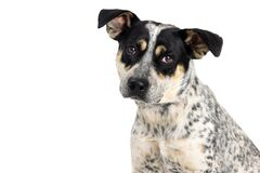 Free Close-up Cattle Dog With Sad Expression Royalty Free Stock Photography - 215988497