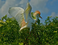 Cattle egret perching on treetop stock photo