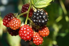 Close-up of the Caucasian blackberry garden Rubus subgen with re. D ripening and black ripe fruits on a branch with green leaves in the garden of the foothills stock photography
