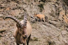 A close-up of a Caucasian mountain goat with huge horns. In a natural habitat in the mountains. Wild animal Stock Photography