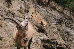 A close-up of a Caucasian mountain goat with huge horns. In a natural habitat in the mountains. Wild animal Royalty Free Stock Photos