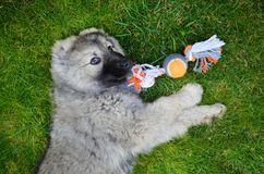 Caucasian Shepherd Baby Dog Playing with a Ball. Close up of a Caucasian Shepherd Baby Dog Laying on a Green Grass with Dog Toy stock image
