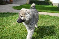 Caucasian Shepherd Baby Dog on a Green Grass. Close up of a Caucasian Shepherd Baby Dog Walking on a Green Grass royalty free stock images