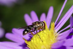 Close-up of Caucasian striped flies are hoverflies in yellow inf royalty free stock photo