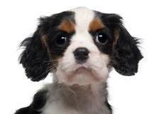 Close-up of Cavalier King Charles Puppy Royalty Free Stock Images