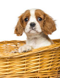 Close-up of a Cavalier King Charles Puppy, 2 months old, in wick er basket Stock Images