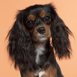 Close-up of Cavalier King Charles Spaniel Stock Photo