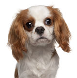 Close-up of Cavalier King Charles Spaniel Royalty Free Stock Photography