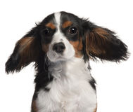 Close-up of Cavalier King Charles Spaniel Royalty Free Stock Images