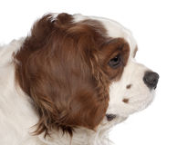 Close up of Cavalier King Charles Spaniel Royalty Free Stock Images