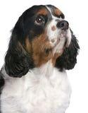 Close-up Cavalier King Charles Spaniel Stock Photo