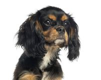 Close-up of a Cavalier King Charles Spaniel, isolated. On white stock images