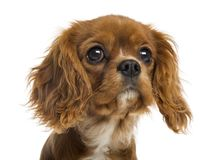 Close-up of a Cavalier King Charles Spaniel puppy, 5 months old. Isolated on white stock image