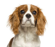 Close-up of a Cavalier King Charles Spaniel puppy, 5 months old Royalty Free Stock Photography