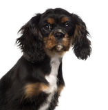 Close-up of a Cavalier King Charles Spaniel puppy (4 months old) Royalty Free Stock Image