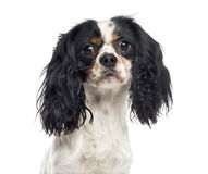 Close-up of a Cavalier King Charles Spaniel (1 year old) Royalty Free Stock Photography