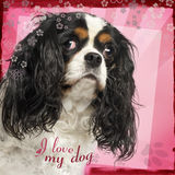 Close-up of a Cavalier King Charles Spaniel, 5 years old Royalty Free Stock Photography