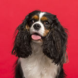 Close-up of a Cavalier King Charles Spaniel (3 years old) in fro Stock Image
