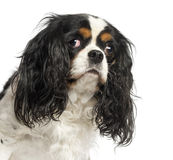 Close-up of a Cavalier King Charles Spaniel, 5 years old Royalty Free Stock Photo
