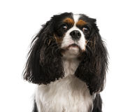 Close-up of a Cavalier King Charles Spaniel (3 years old) Stock Photo