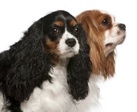 Close-up of Cavalier King Charles Spaniels Royalty Free Stock Photo