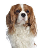 Close-up of a Cavalier King Charles, 2 years old Royalty Free Stock Photo