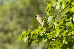 Close up Cedar Waxwing Perched in Sun Royalty Free Stock Photography