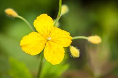 Close-up Celandine flower. Royalty Free Stock Image