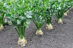Close-up of celery plantation royalty free stock photo