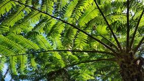 Tree ferns detail, Cyatheales Stock Photo
