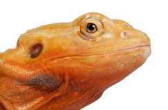 Close-up of Central Bearded Dragon, Pogona Royalty Free Stock Photo