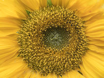 Close up the centre of a sunflower Stock Photo