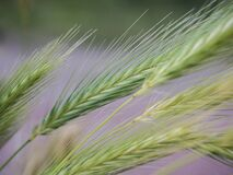 Close up of cereal grass Royalty Free Stock Photo