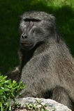 Close-up of a Chacma Baboon. In Hermanus, South Africa Stock Photography