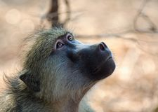 Chacma Baboon looking upwards with eyes bright and alert. Close up of a Chacma Baboon face looking up above in South Luangwa National Park, Zambia royalty free stock photography