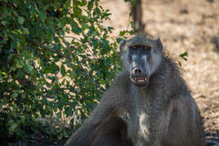 Close-up of chacma baboon with open mouth stock image