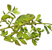 Close up of chameleon Stock Photos
