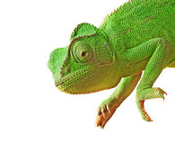 Close up of chameleon Royalty Free Stock Photography
