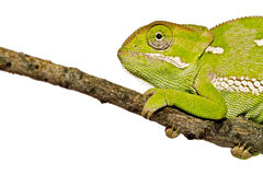 Close-up Chameleon Royalty Free Stock Photography