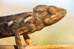 Close up chameleon Stock Images