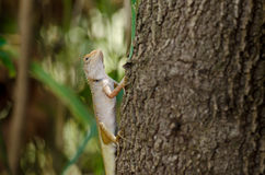 Close up chameleon Royalty Free Stock Image