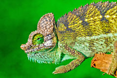 Chameleon. Close up of a chameleon during the way to work in kenya Royalty Free Stock Photo