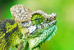 Chameleon. Close up of a chameleon during the way to work in kenya Stock Image