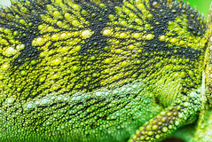 Chameleon. Close up of a chameleon during the way to work in kenya Royalty Free Stock Images