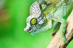 Chameleon. Close up of a chameleon during the way to work in kenya Royalty Free Stock Photography