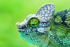 Chameleon. Close up of a chameleon during the way to work in kenya Royalty Free Stock Photos