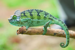 Chameleon. Close up of a chameleon during the way to work in kenya Stock Photos