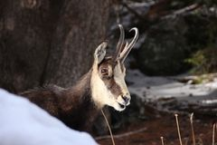 Close up of a chamois Stock Photography